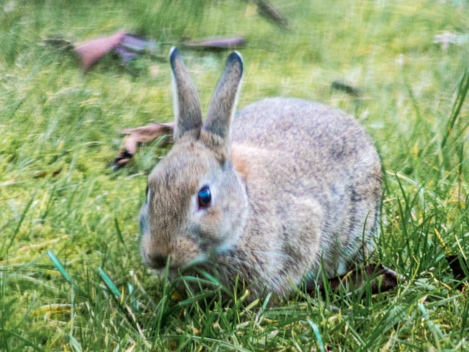 Kaninchen im Gras, halbfrontal, aufrechte Ohren