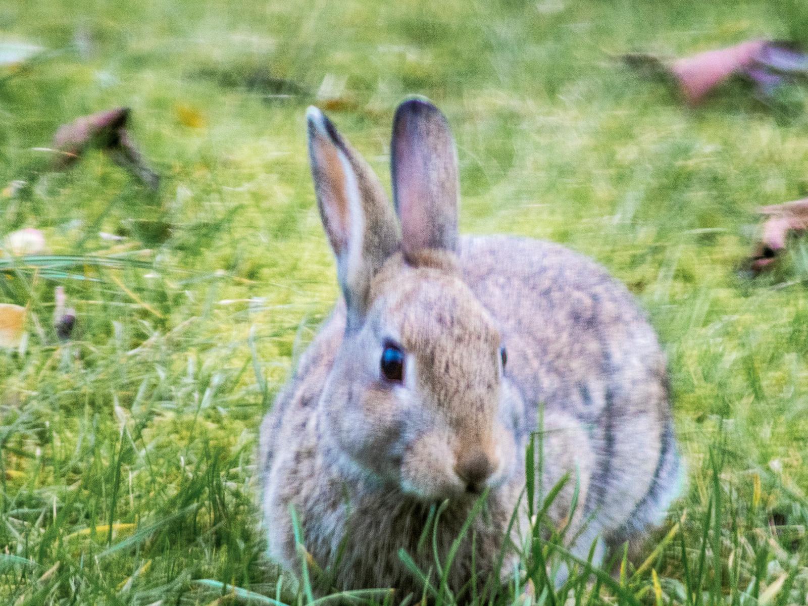 Kaninchen im Gras, sich wegdrehend, aufrechte Ohren