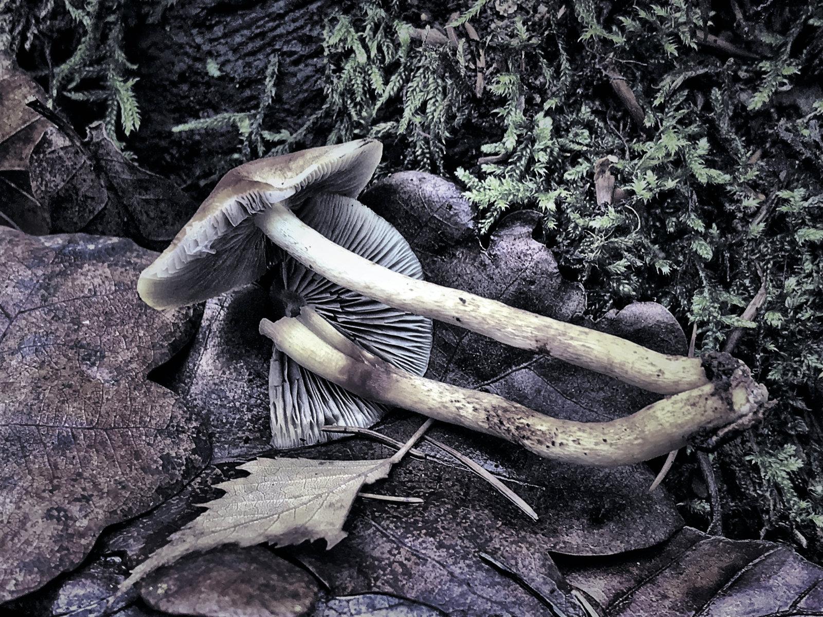 Nature Morte mit zwei ausgerissenen Pilzen