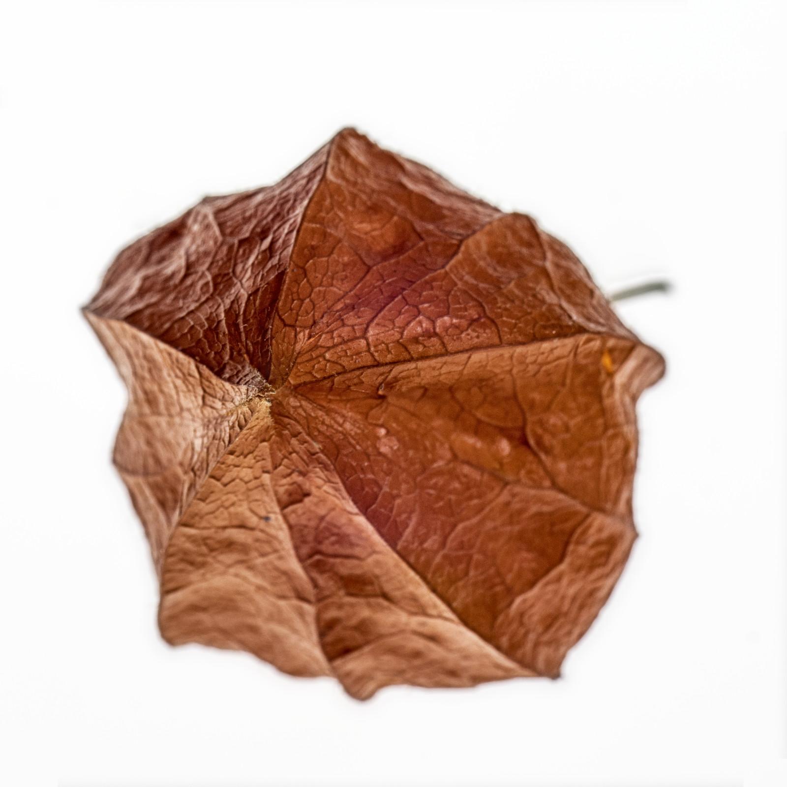 Lampionblume (Physalis) auf dem Leuchttisch