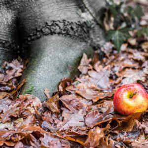 rotbackiger Apfel, im Wald liegend