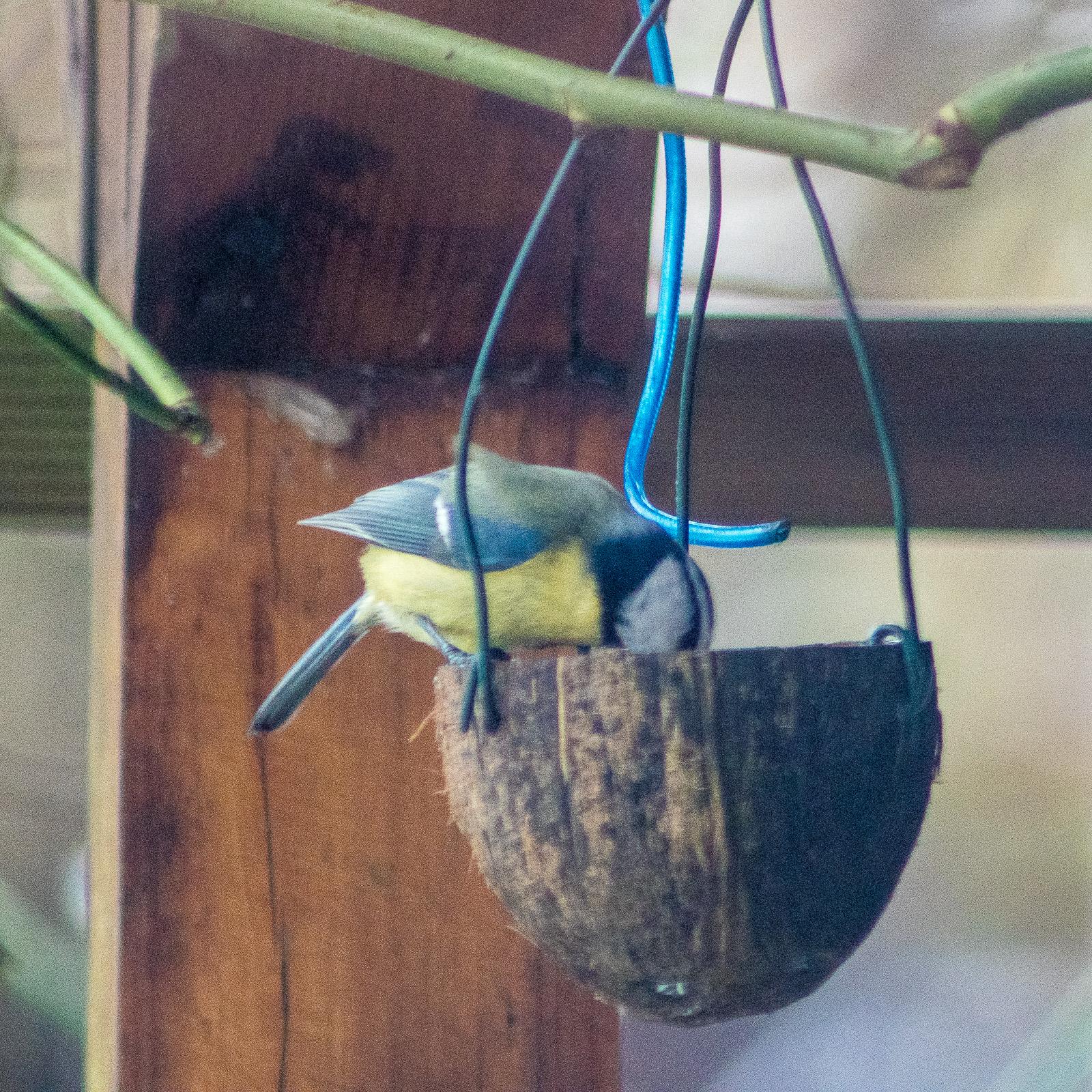 Blaumeise am Fettfutter (in halber Kokosnuss)