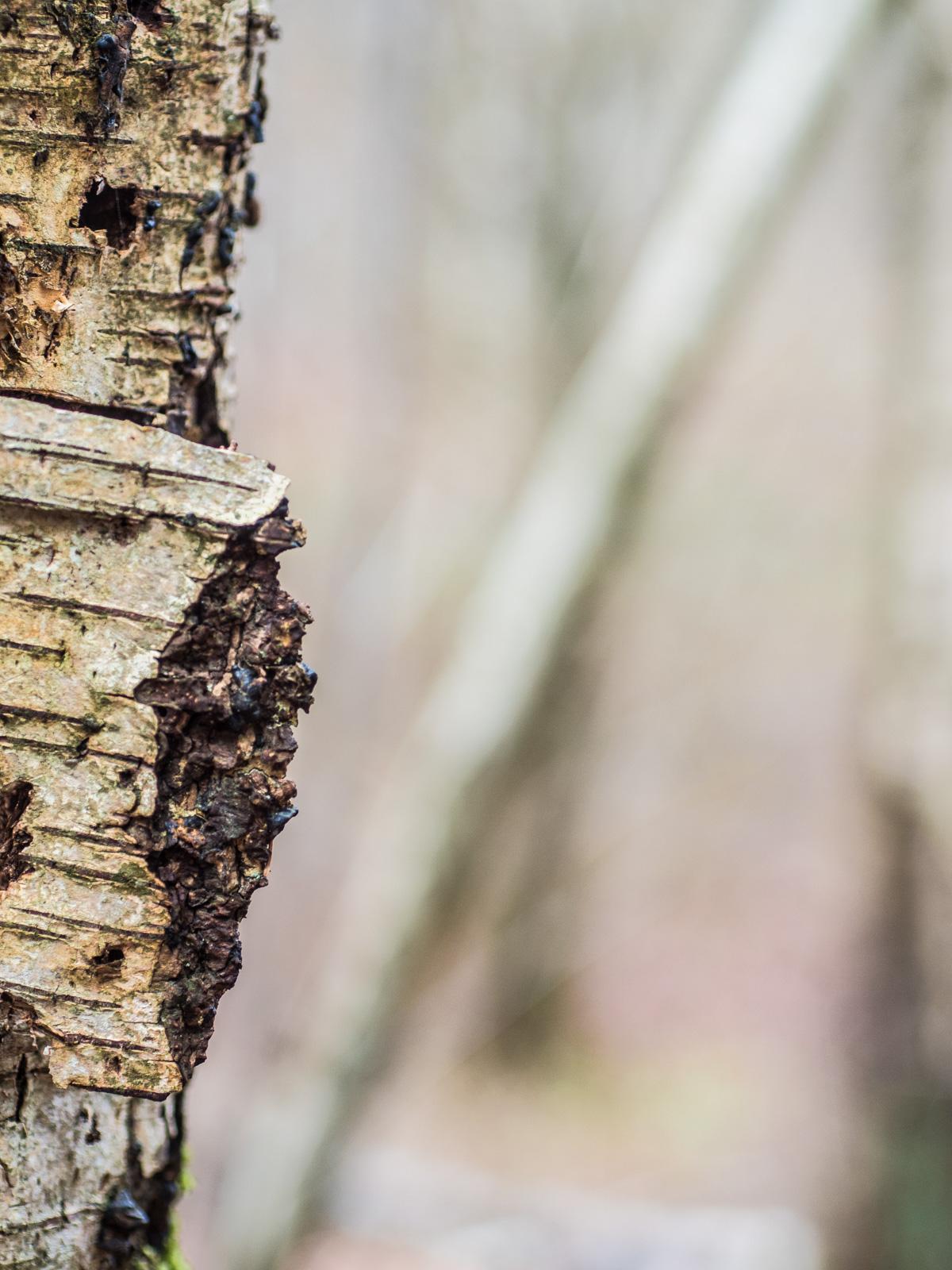 Birkenstamm mit anderen Bäumen im unscharfen Hintergrund