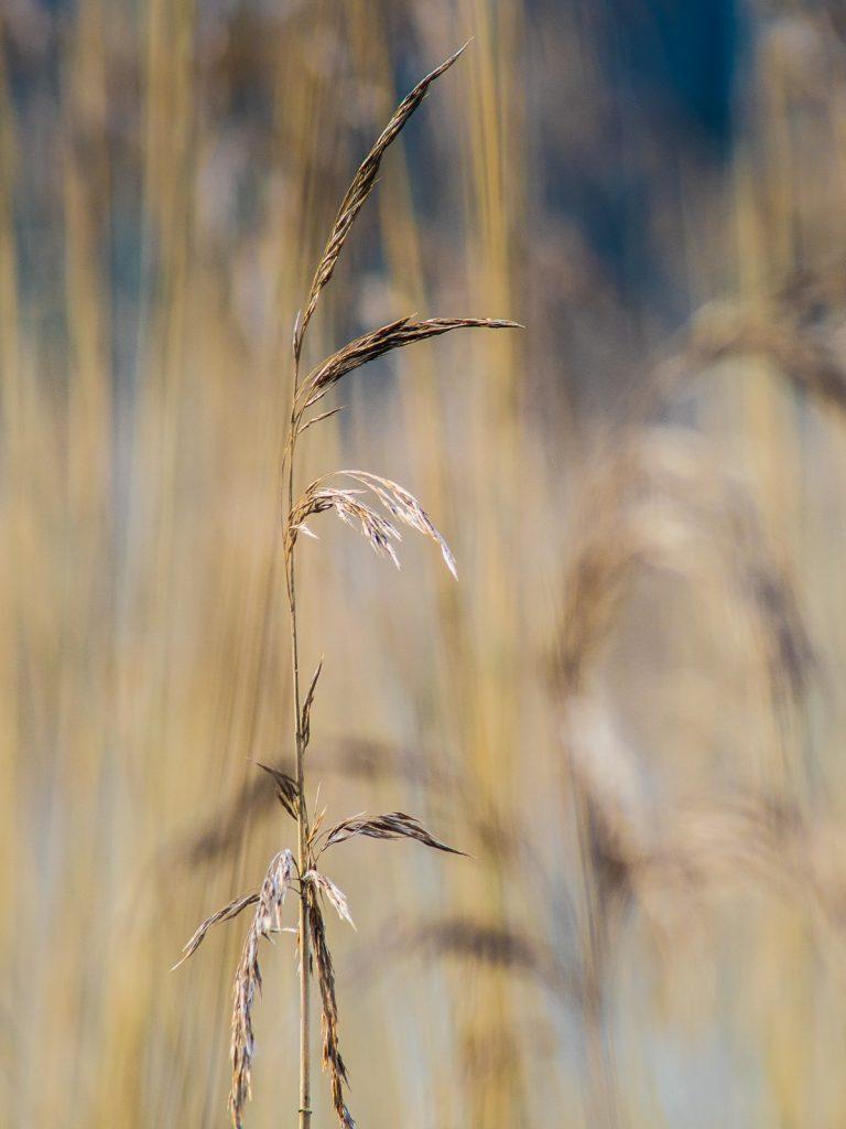 Gräser am Mönchsteich