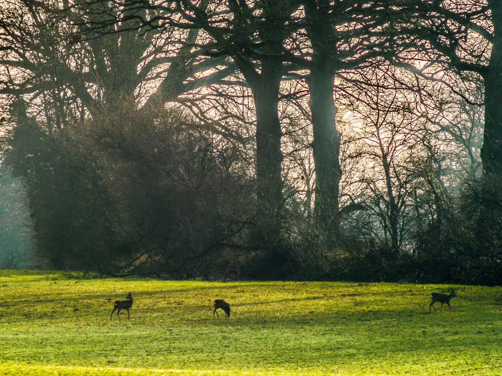 Drei Rehe vor Bäumen im Gegenlicht