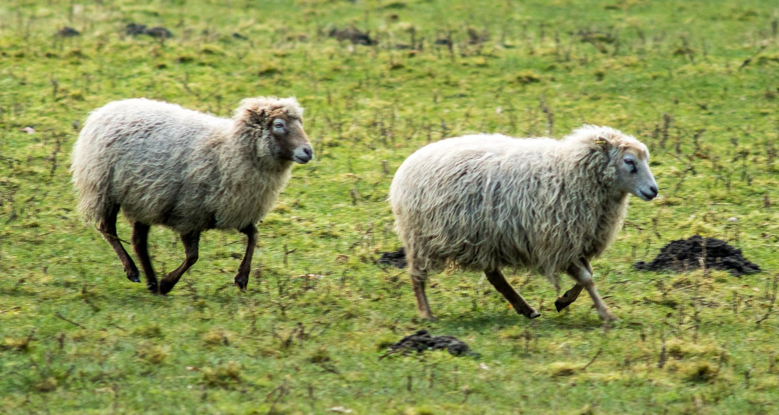 Zwei Schafe im Trab