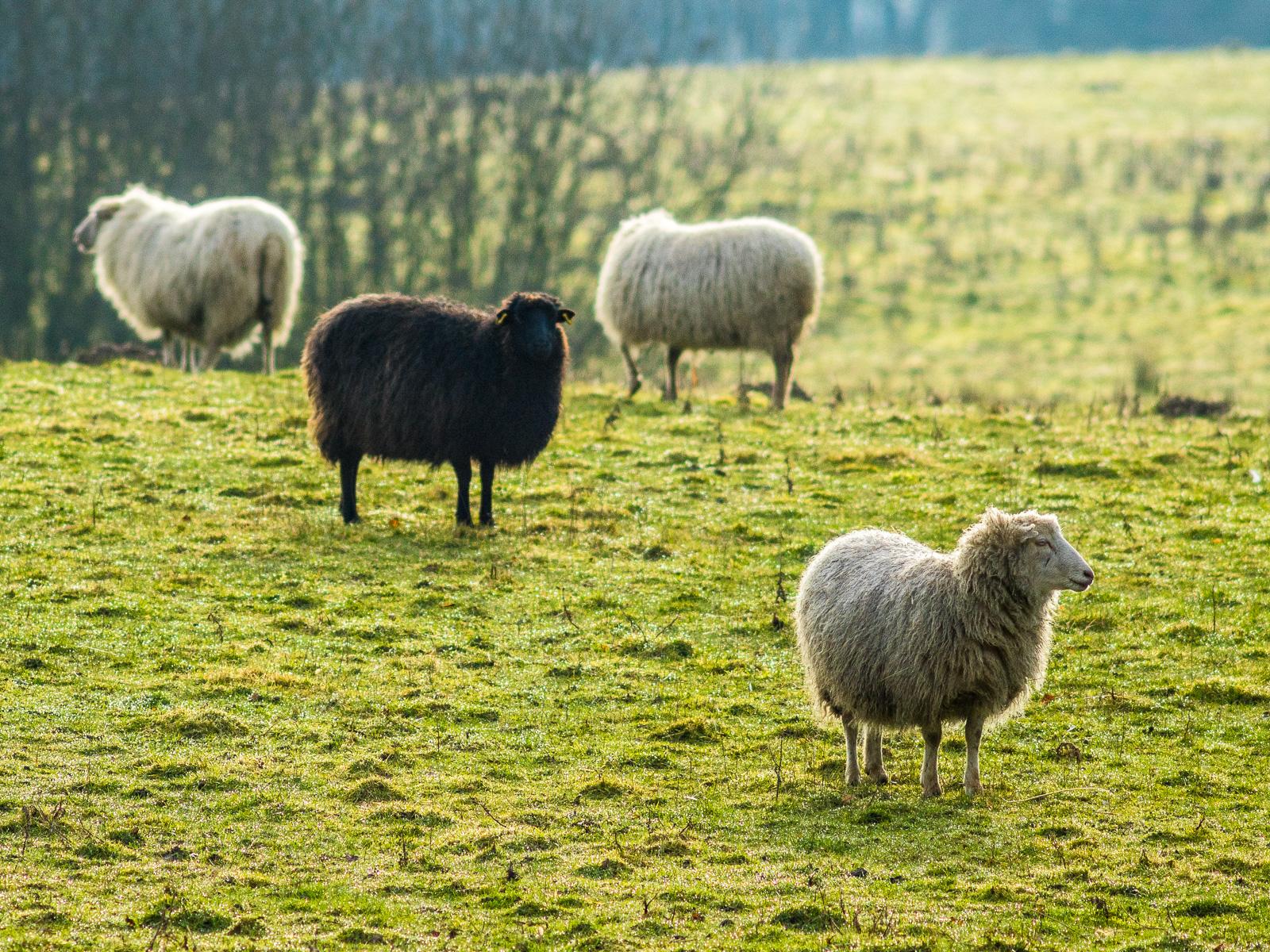 Vier Schafe im Gegenlicht, eins davon schwarz