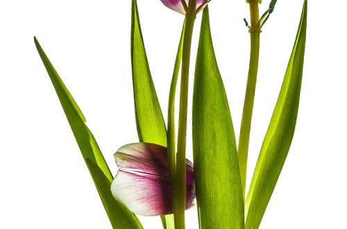 pinkfarbene Tulpe fast ohne Blütenblätter vor Weiß