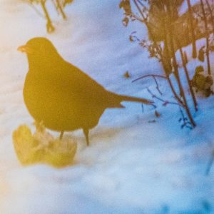 Amsel mit Apfel im Schnee, farbverfremdet durch Fenster-Reflexionen