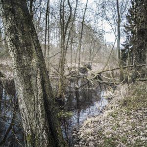 Birke am Teich im Wald