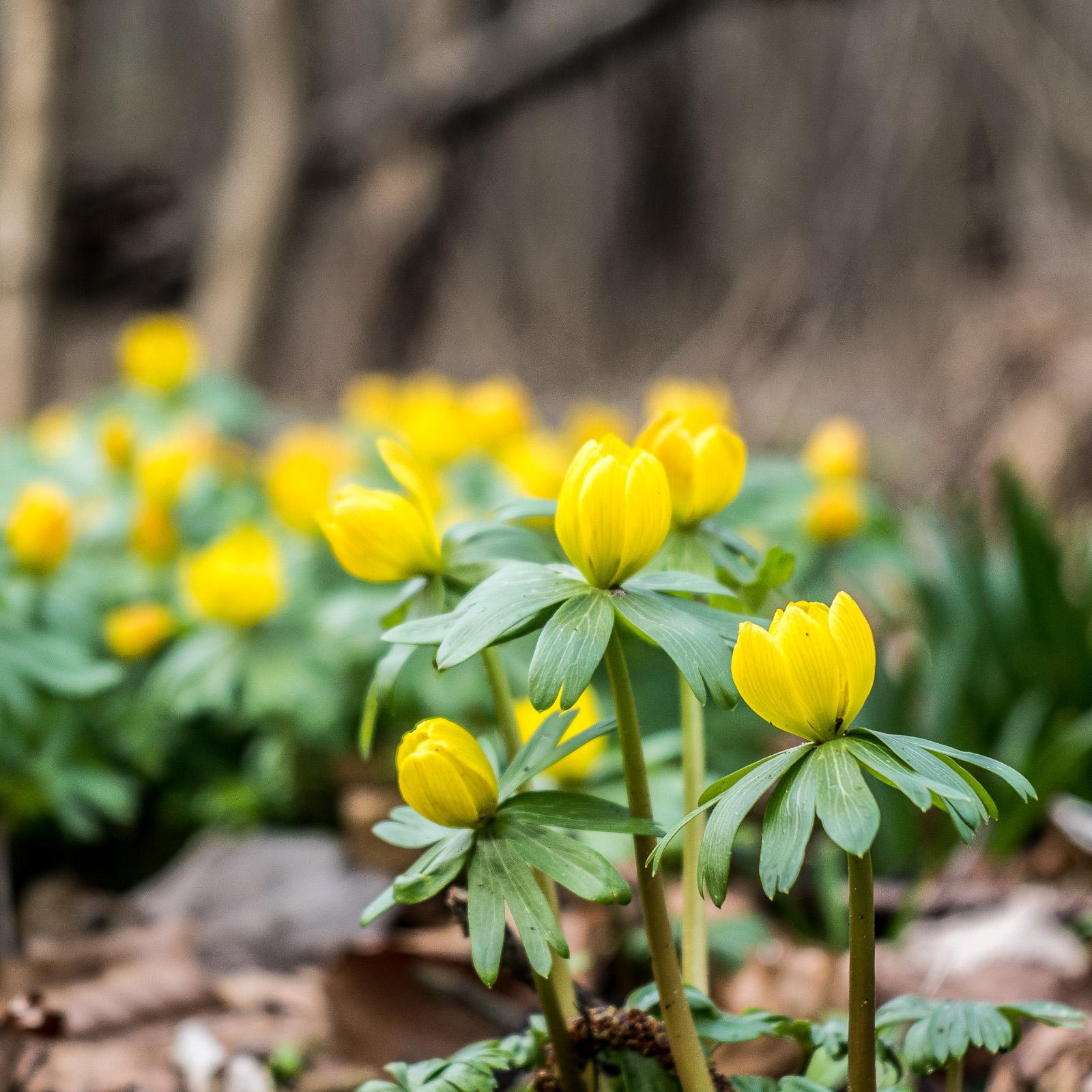 Frühblüher im Wald: die kleinen gelben Winterlinge