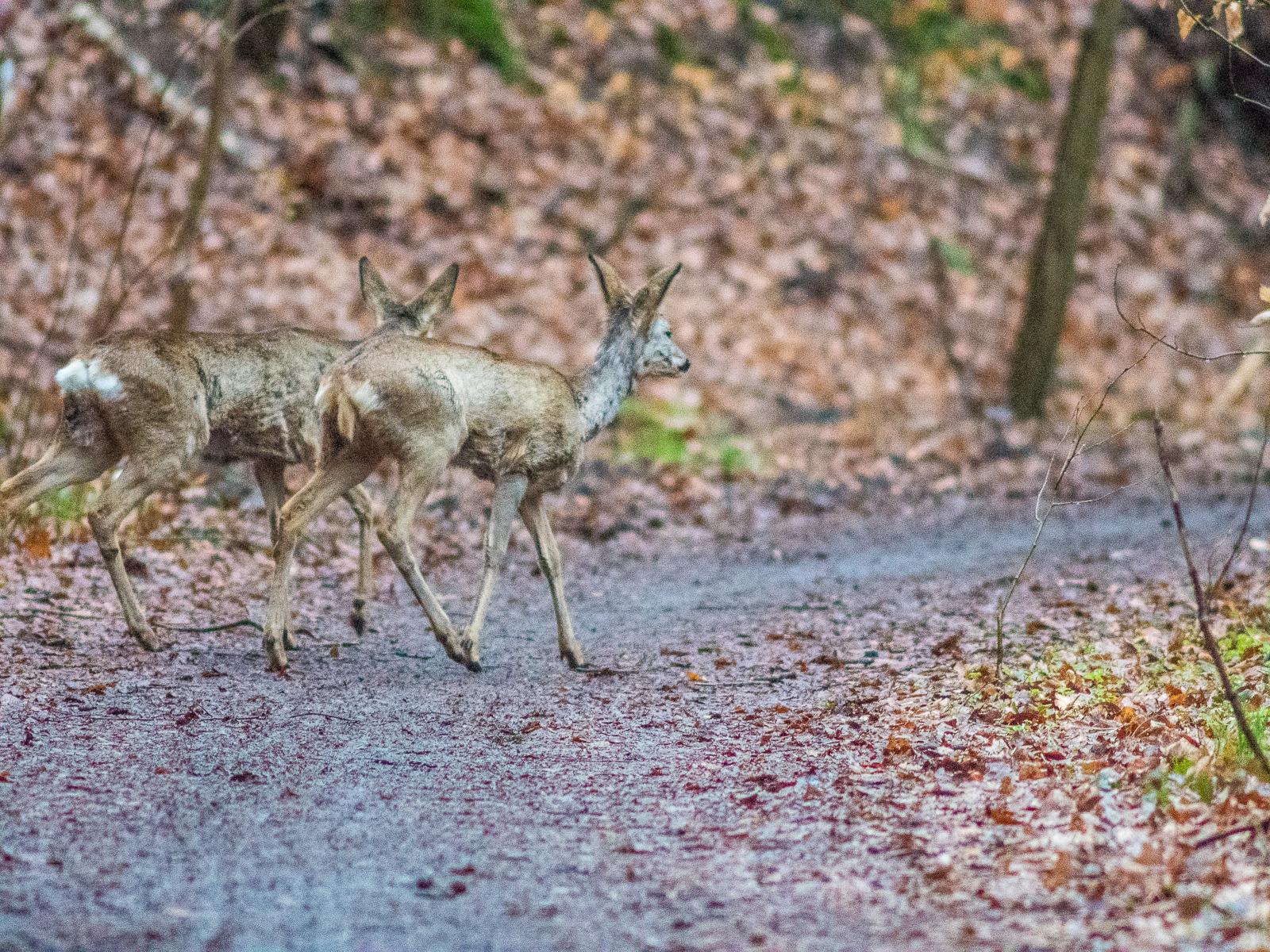 zwei Rehe beim Überqueren eines Waldwegs