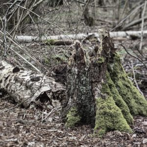 Birkenstubben und der Stamm noch dahinter liegend