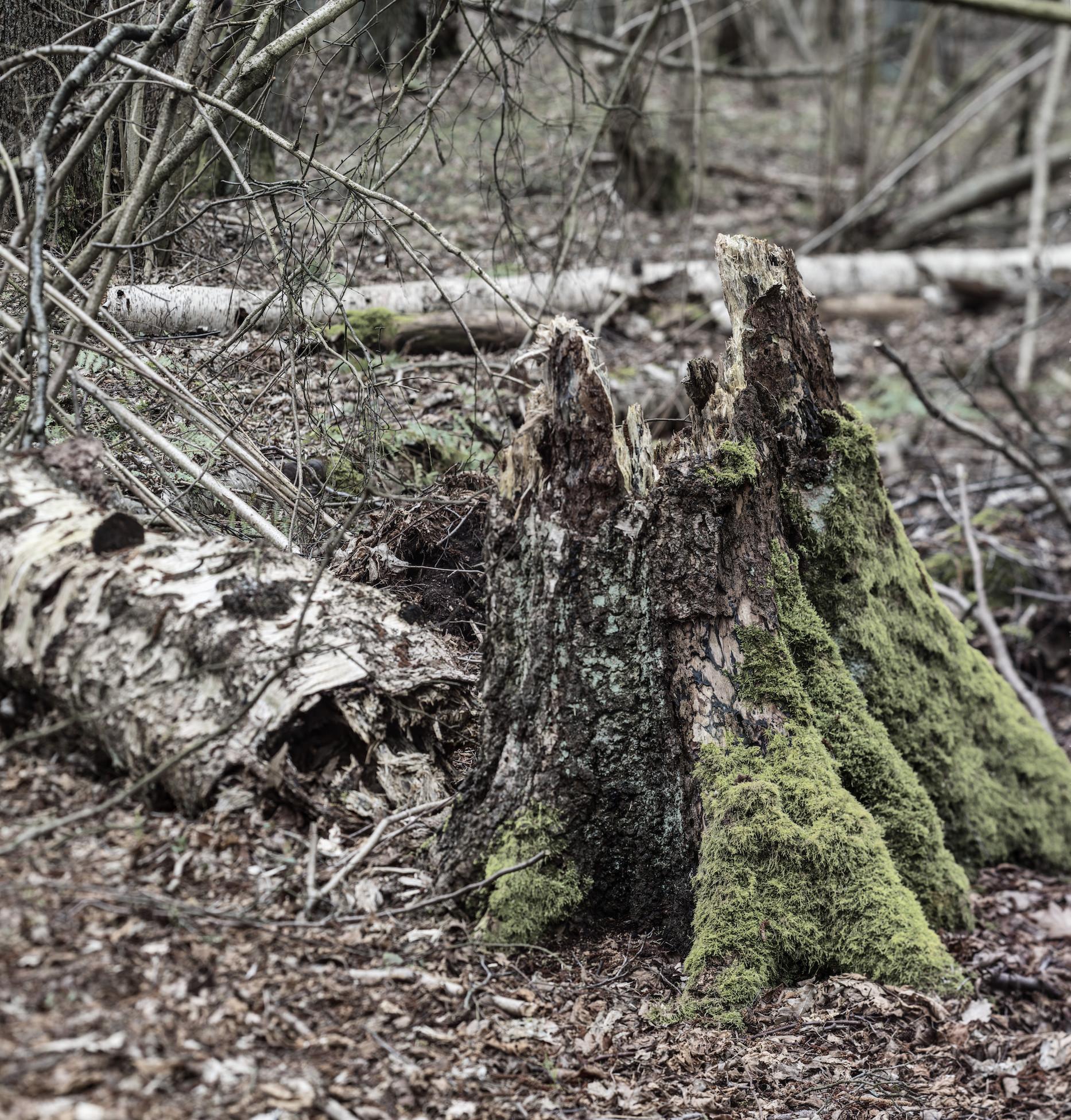Birkenstubben mit dem Stamm noch dahinter liegend