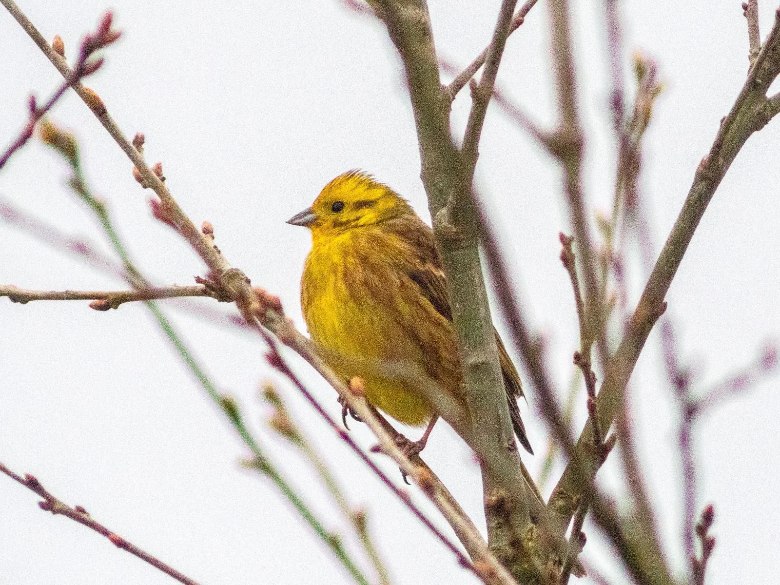 leuchtend gelber Vogel im Gehölz