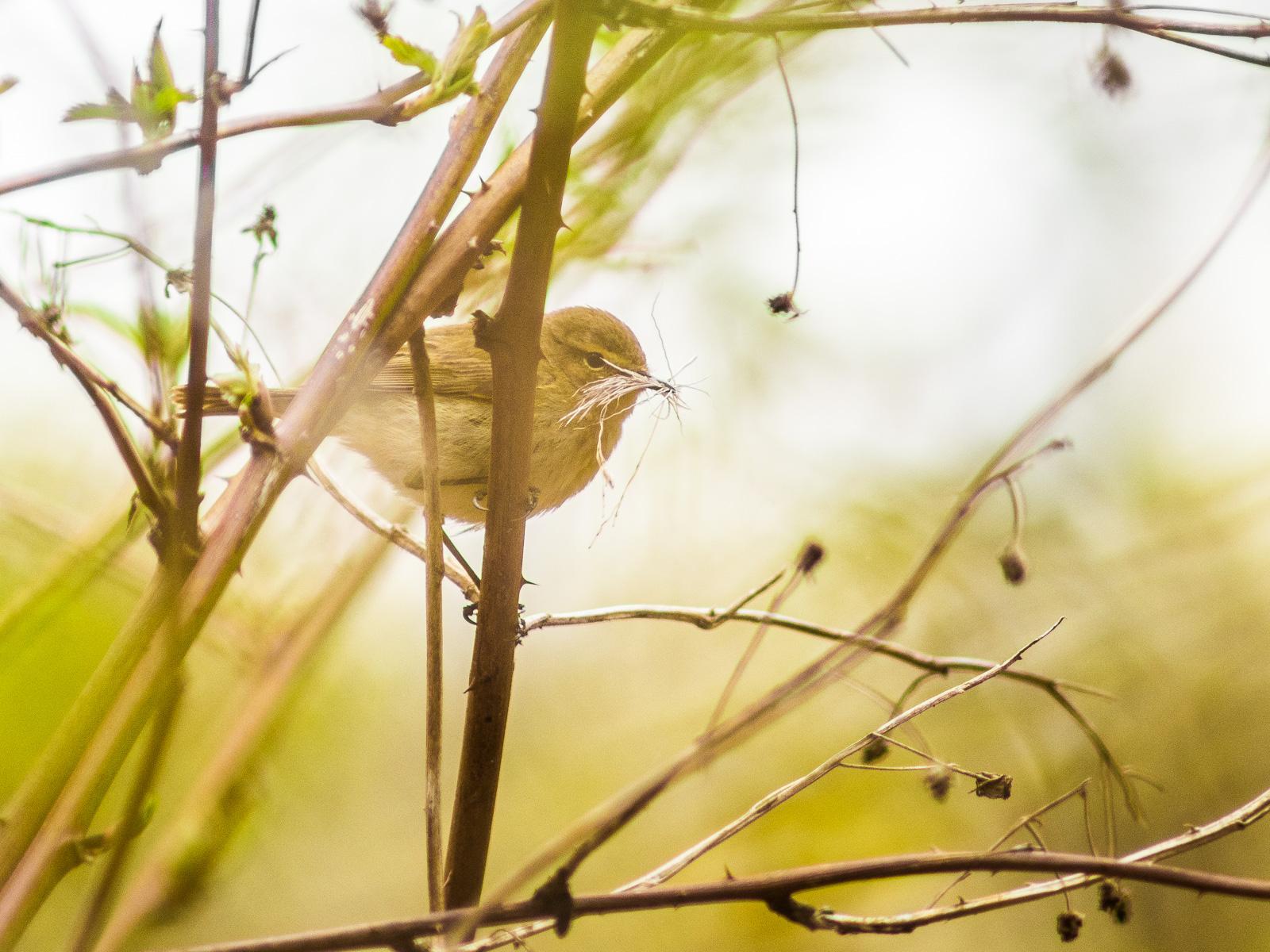 kleiner Vogel mit viel Nistmaterial im Schnabel
