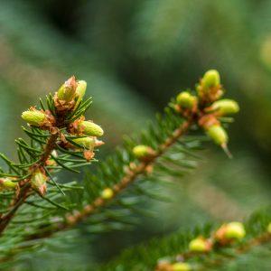Sehr junge Nadelbaum-Triebe