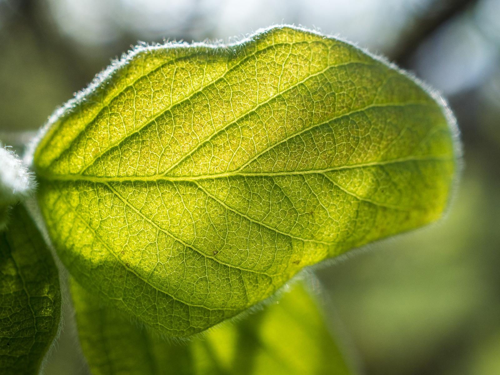zartgrünes Blatt im Gegenlicht, prägnante Adern