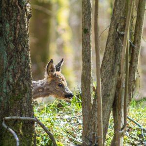 Junges Reh lugt zwischen Bäumen vor