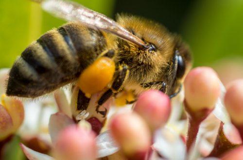 Biene (vermutlich Honigbiene) an Skimmie