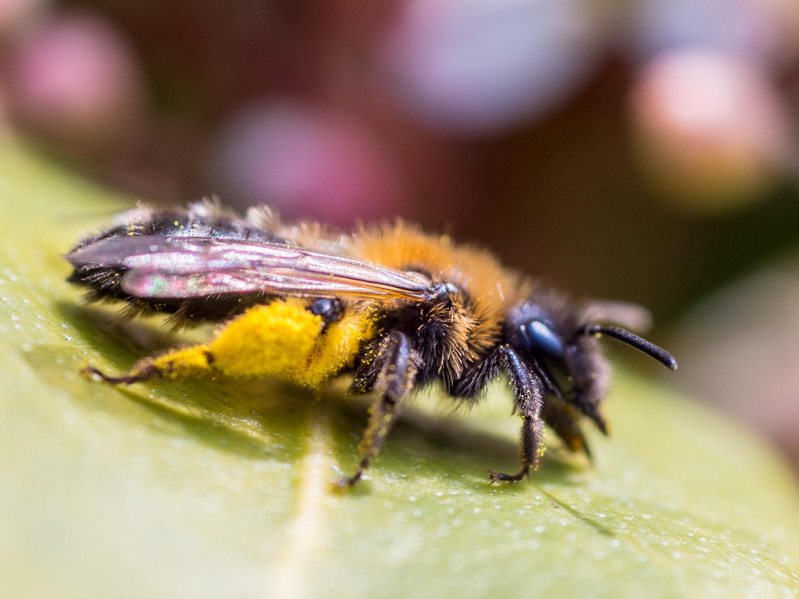 Biene (Furchenbiene?) auf Skimmien-Blatt