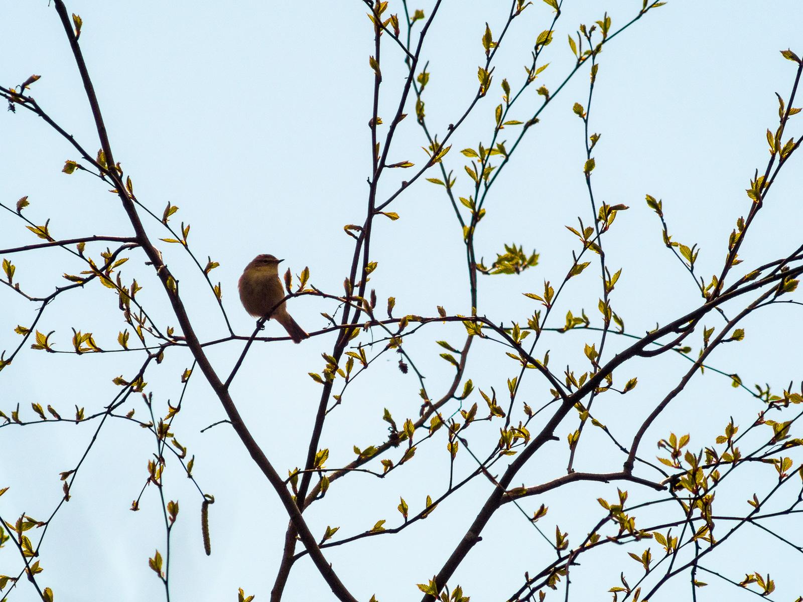 sehr kleiner Vogel in knospendem Baum