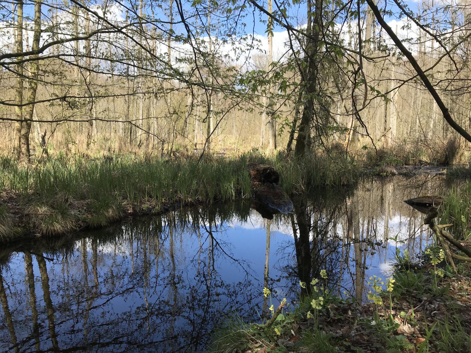 Ein Bach mitten im Wald, Schlüsselblumen am Ufer