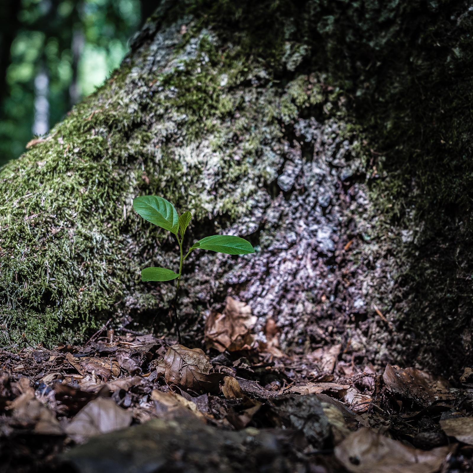 Baumkeimling eng an der Wurzel eines großen Baumes