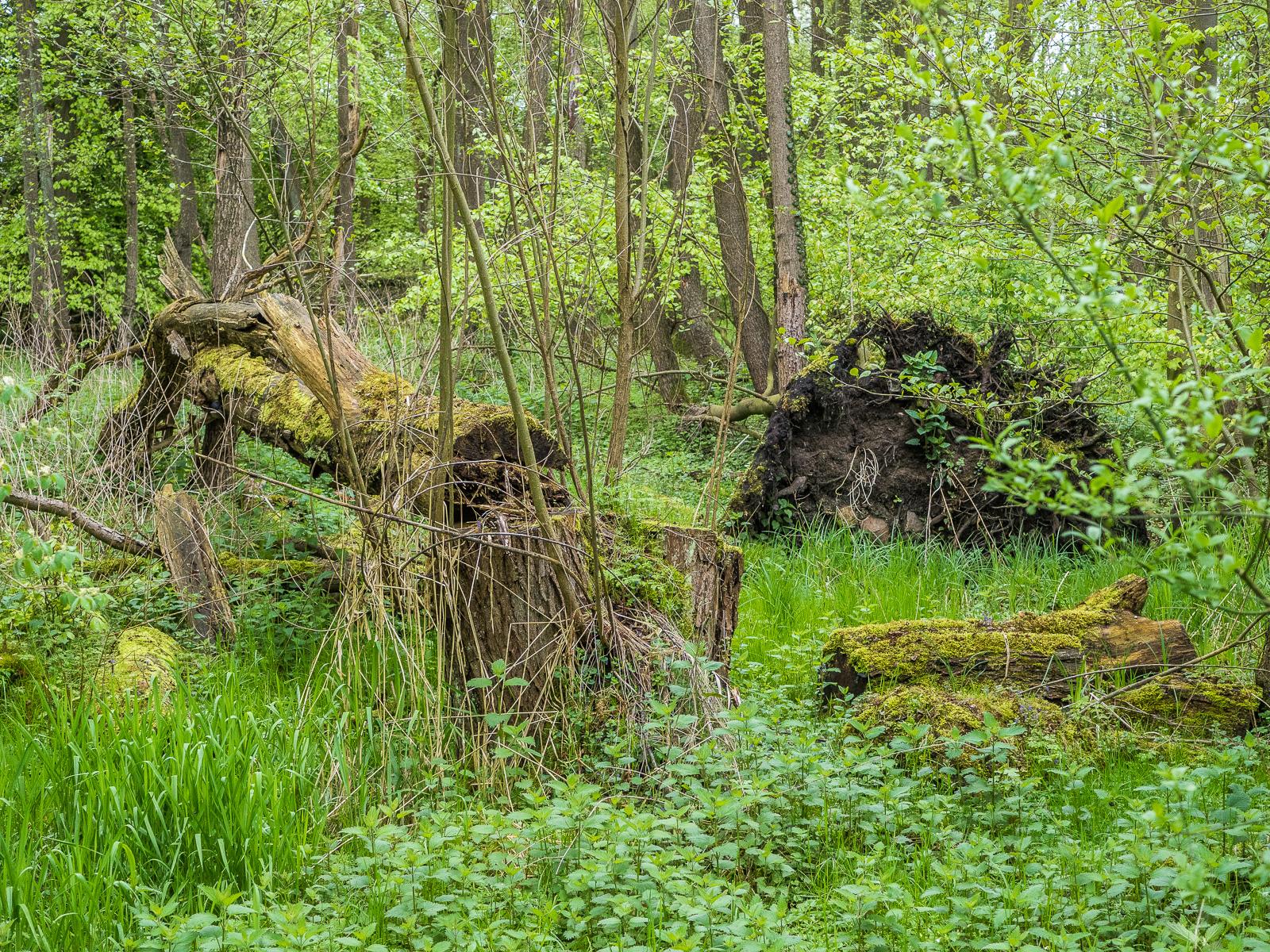 umgestürzter Baum im Feuchtgebiet