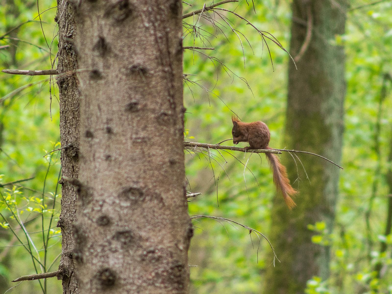 Eichhörnchen auf Nadelbaum-Ast, kauend