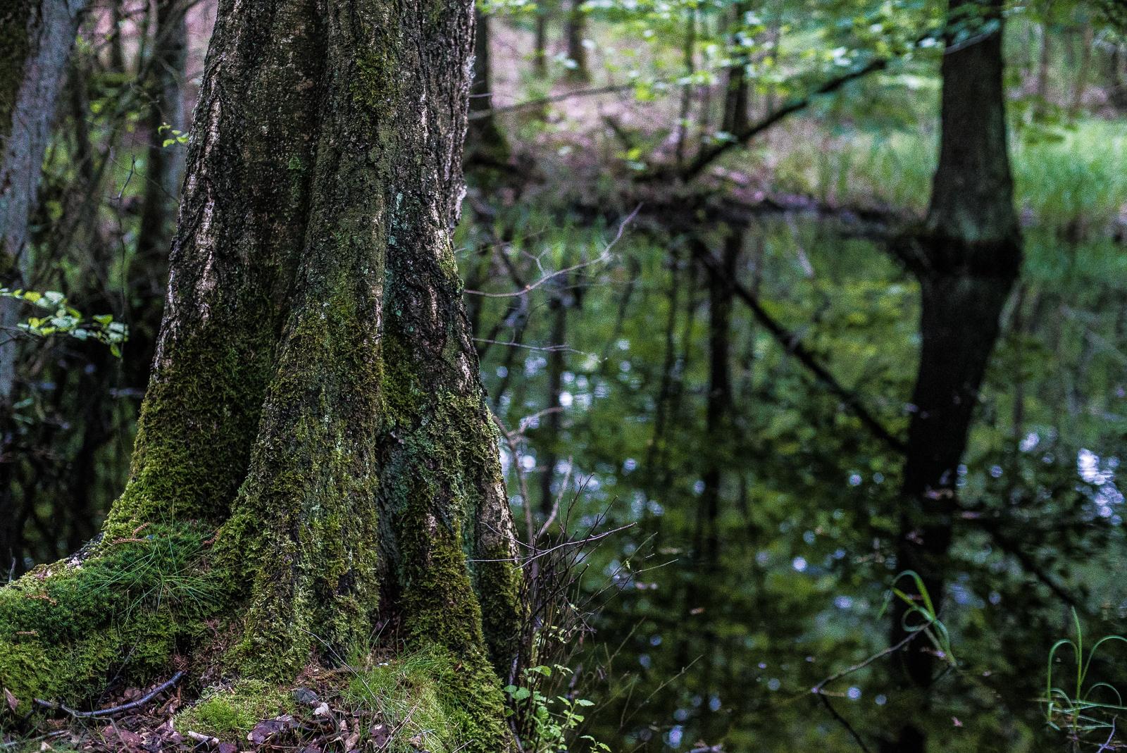Birke am Ufer, Dämmerlicht