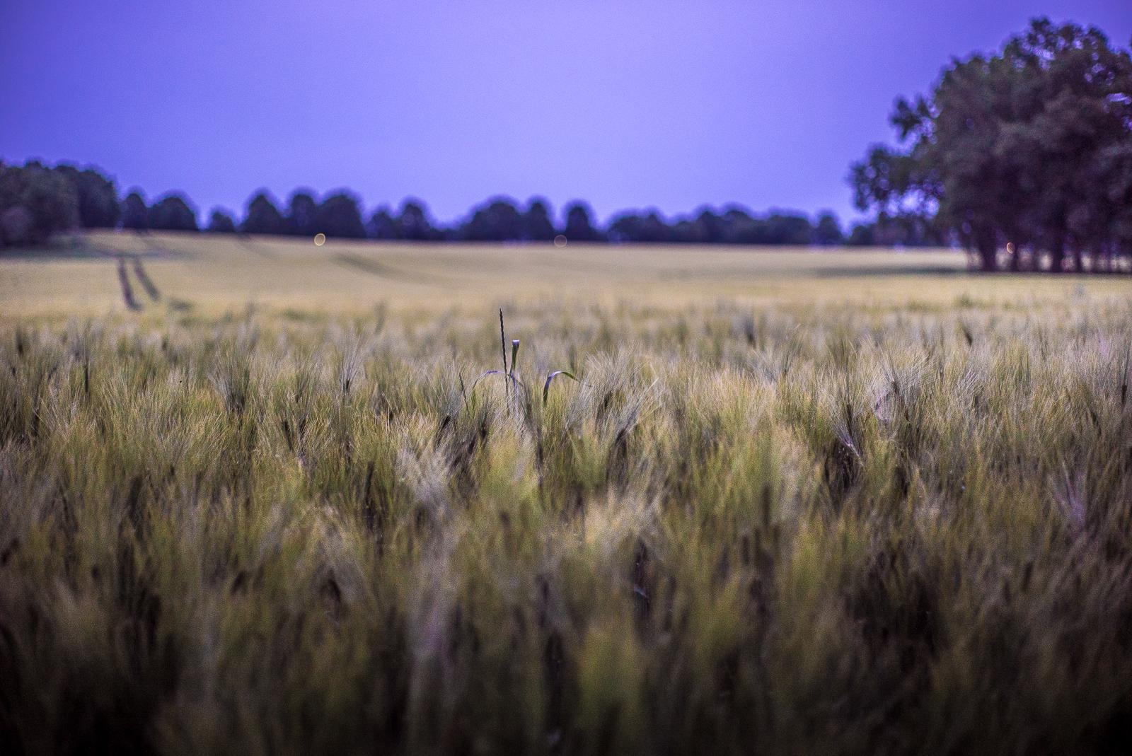 Getreidefeld vor Abendhimmel