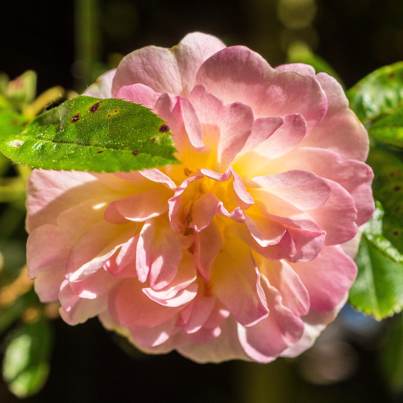 Blüte der Rambler-Rose Ghislaine de Féligonde