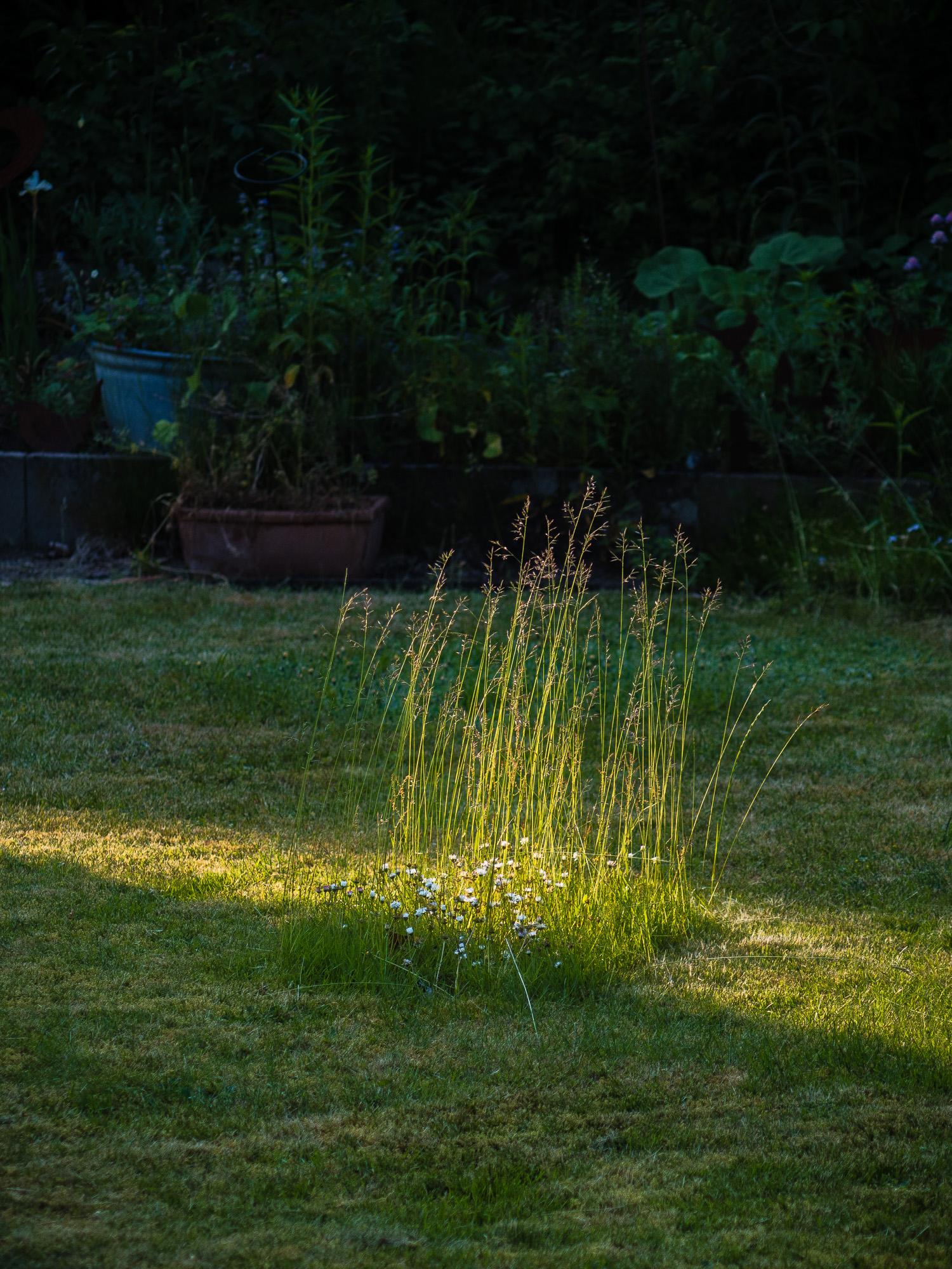 Gänseblümcheninsel mit hohem Gras in ansonsten frisch gemähtem Rasen
