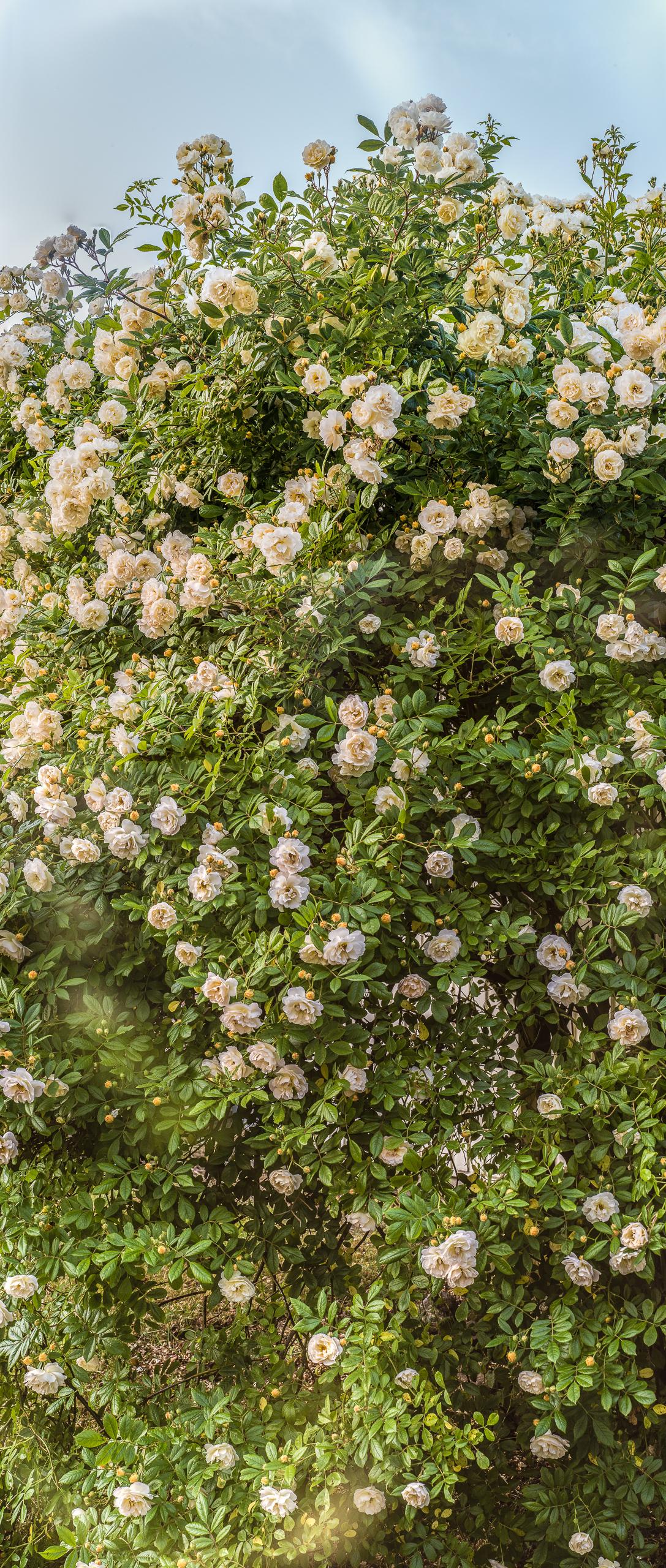 Rose Ghislaine, Hochformat-Panorama
