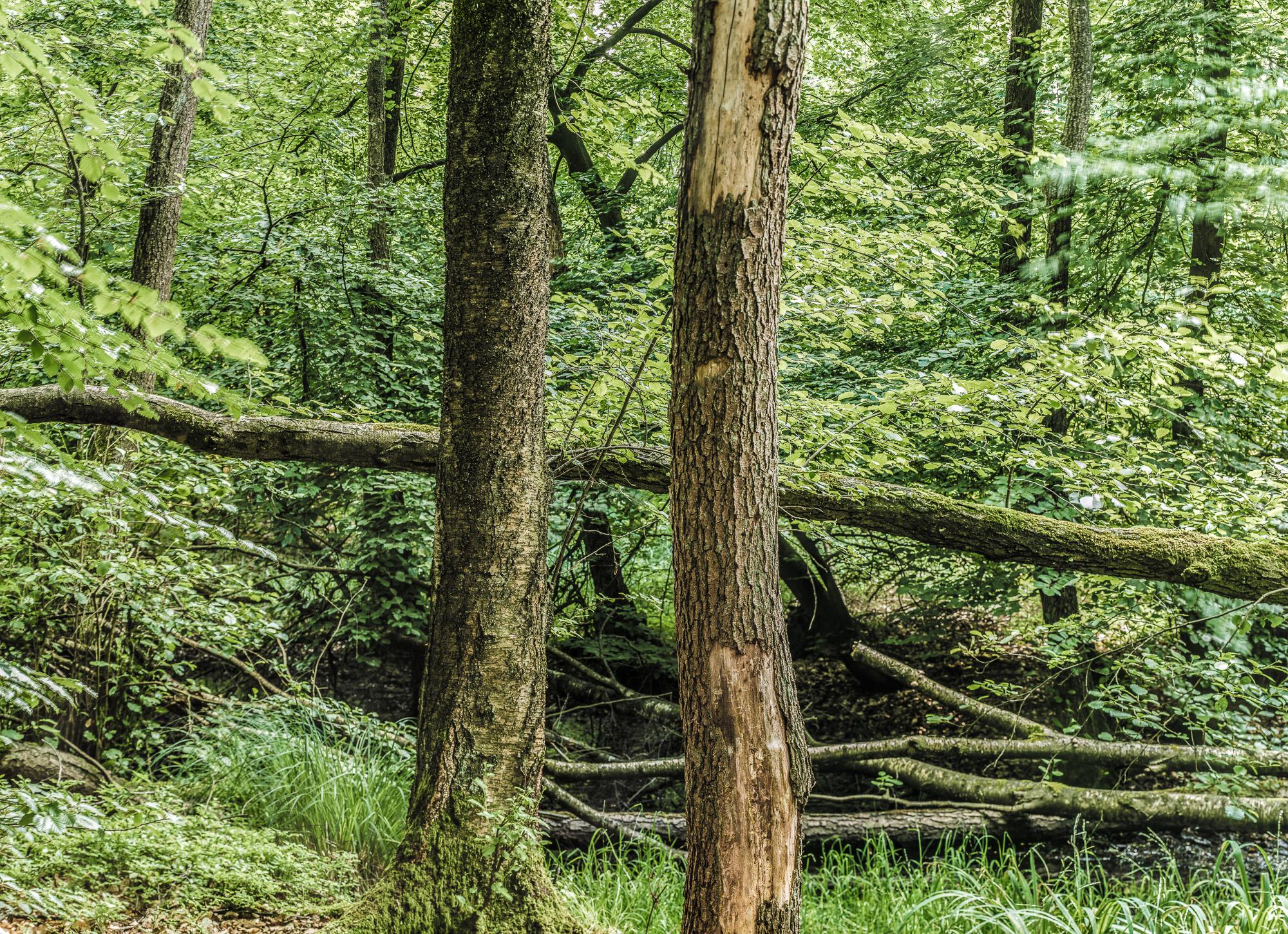 Zwei stehende und diverse liegende Bäume, Shiftpanorama