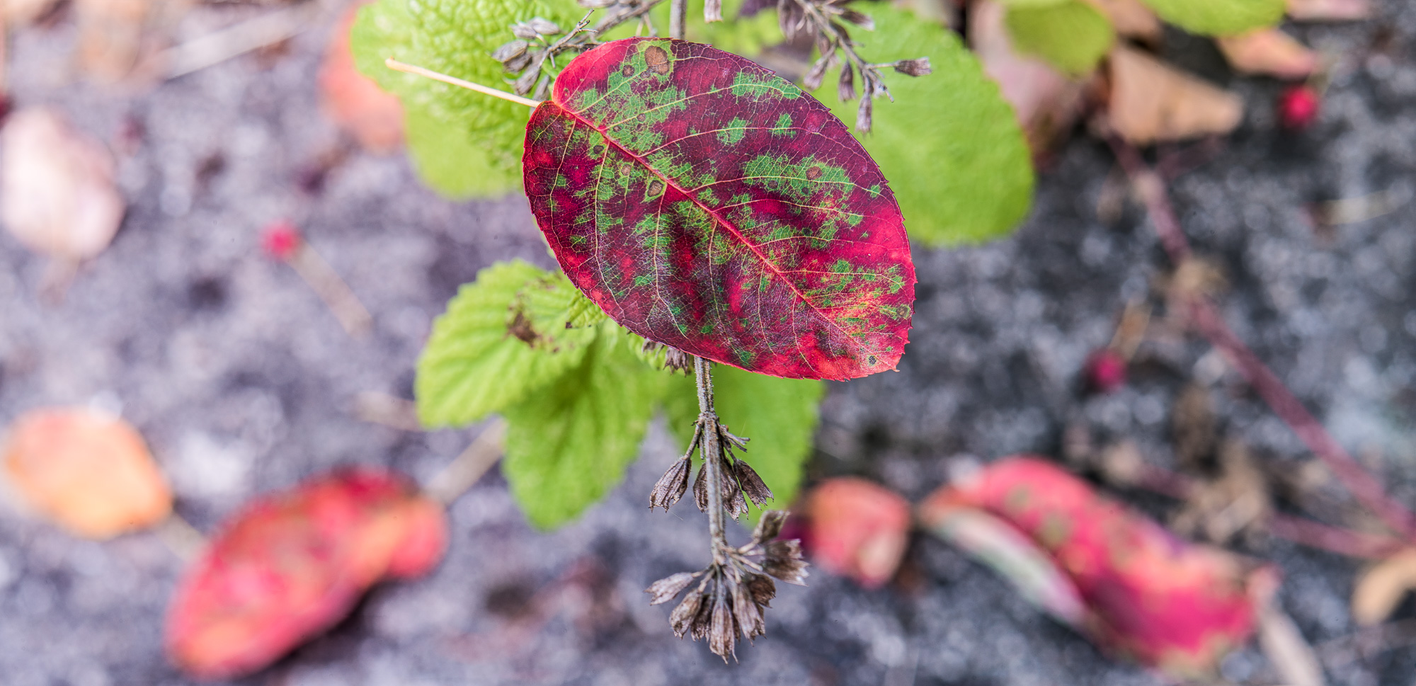 rot gefärbtes Blatt einer Felsenbirne