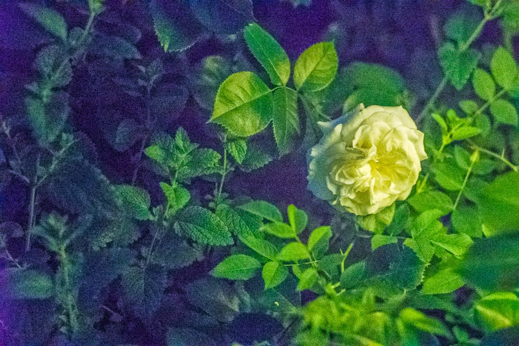 Rose nachts, in Kunstlicht