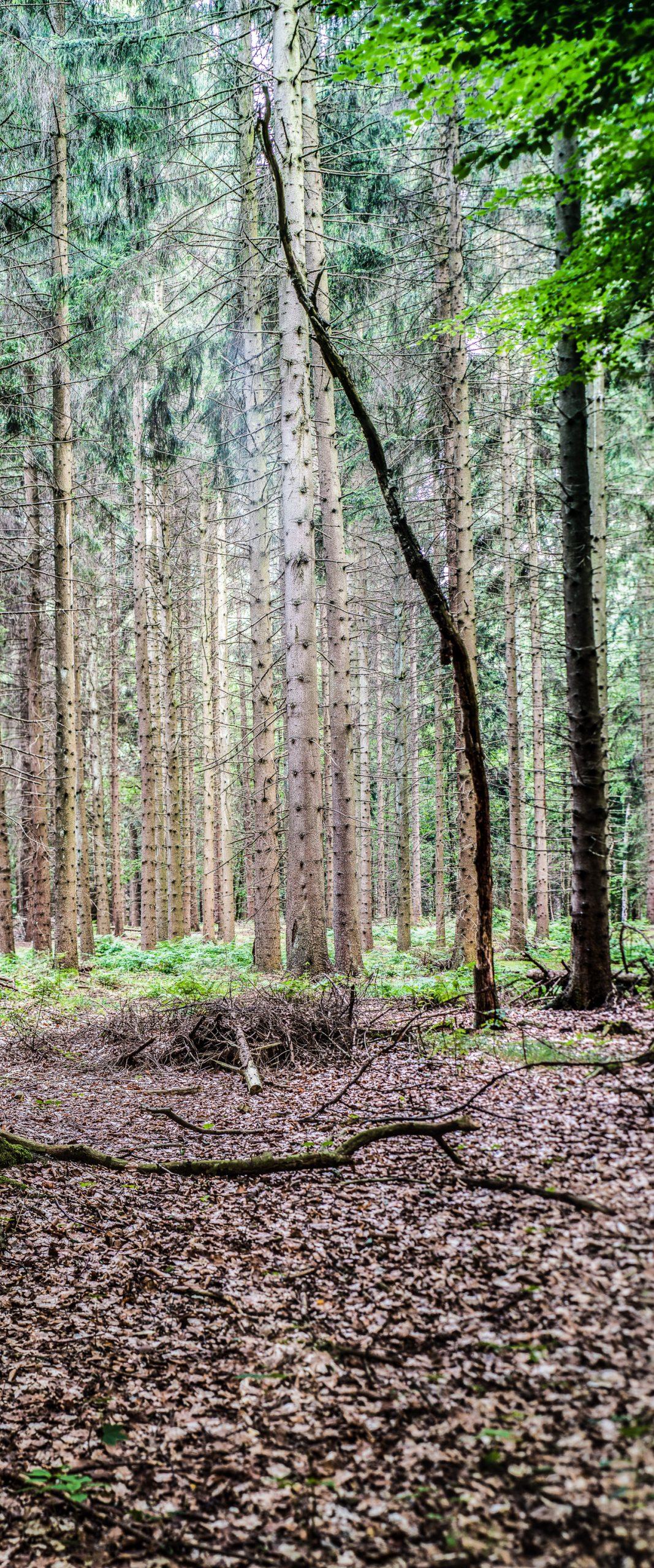 Nadelbäume im letzten Dämmerlicht, Hochformat-Panorama