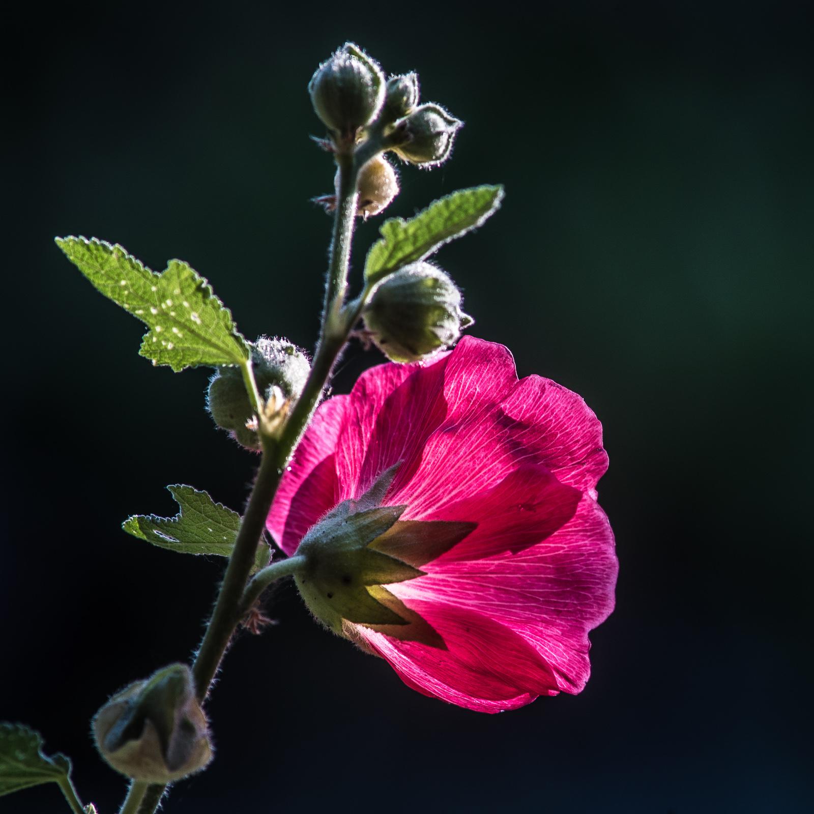 Stockrosenblüte im Gegenlicht