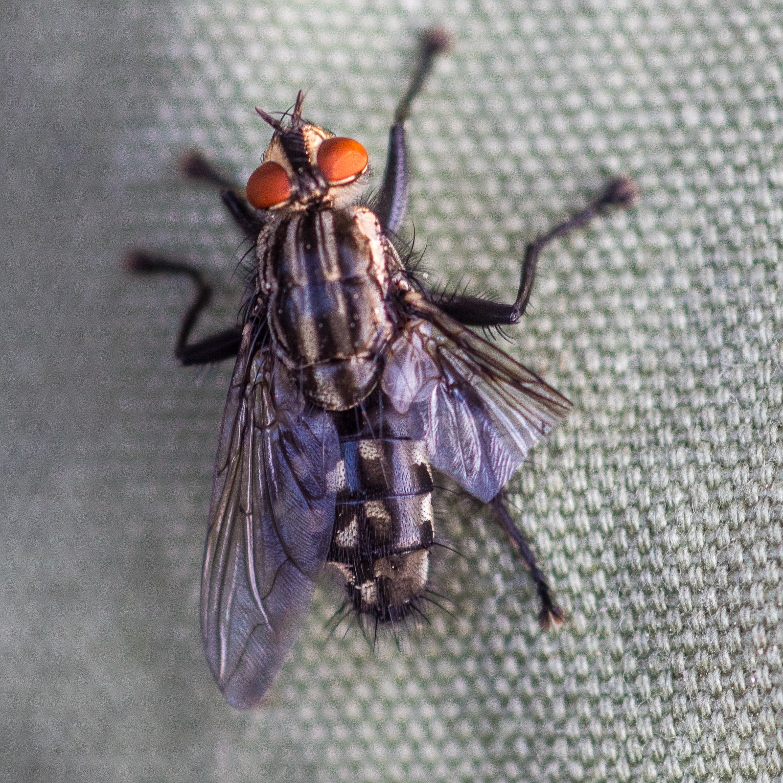 Fliege mit halbem Flügel