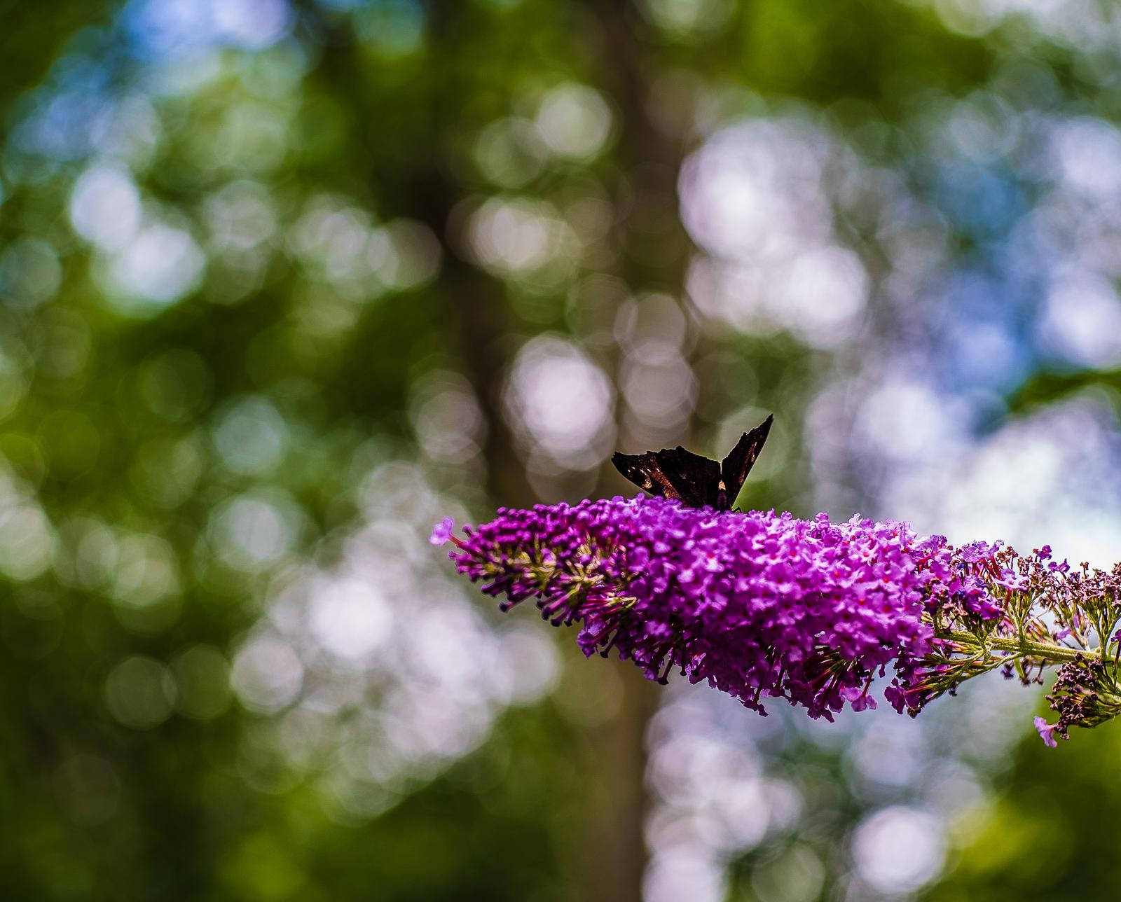 Schmetterlingsflieder mit Falter darauf, vor Unschärfekreisen (Lichtkullern) im Wald