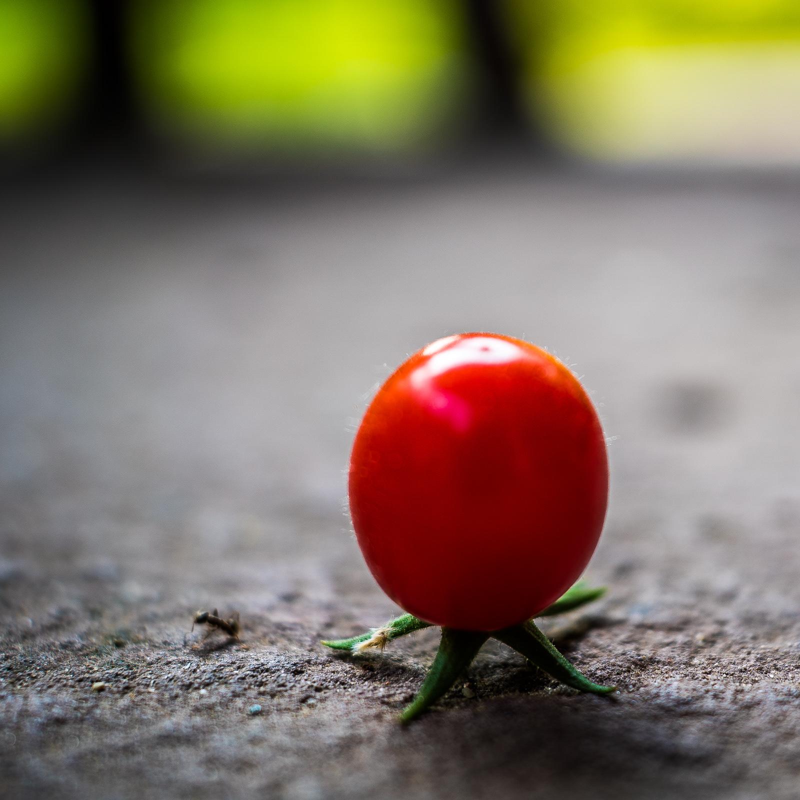 Tomate, auf ihrem Fruchtansatz stehend wie eine Mondlandefähre, mit Ameise