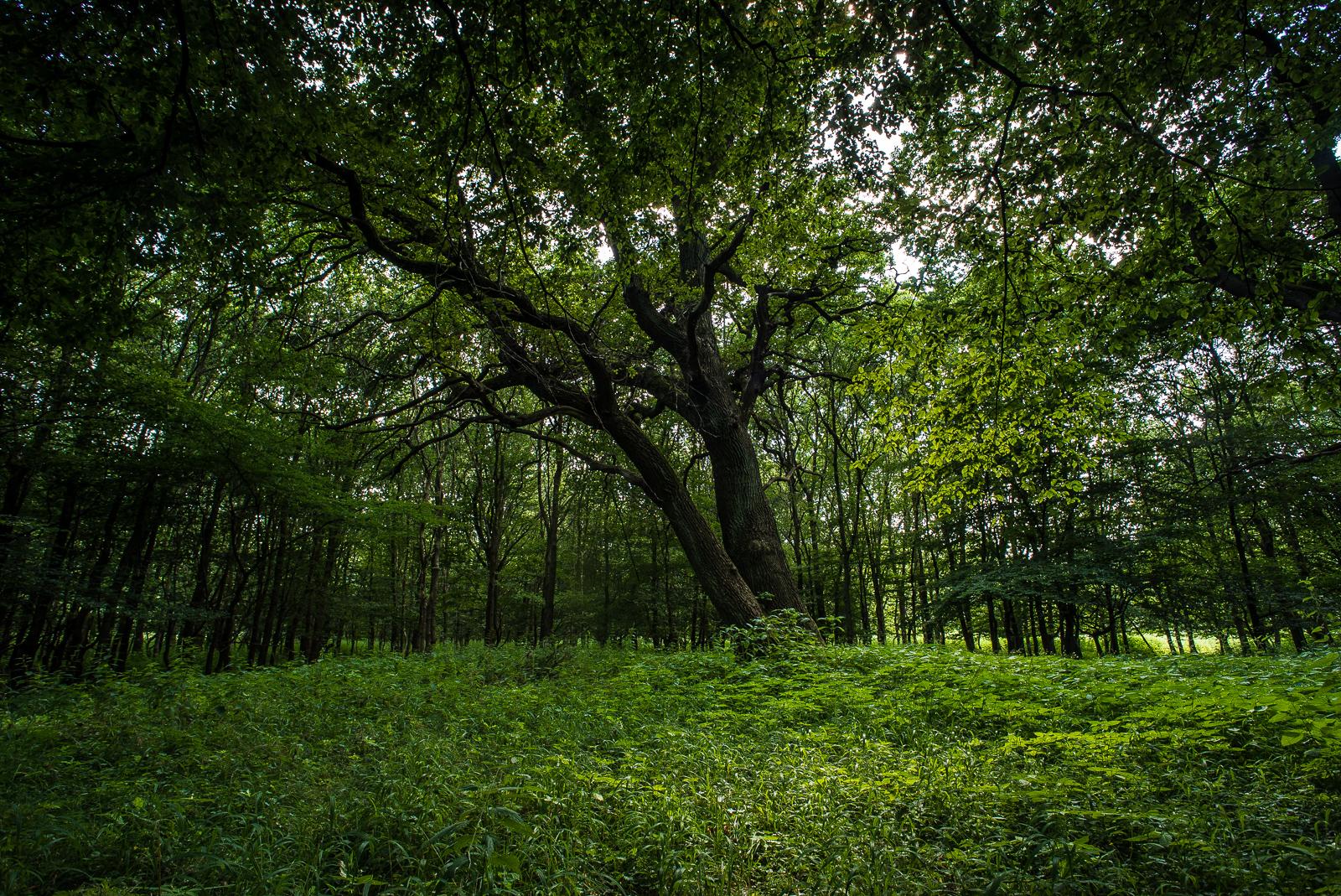 prägnante Eiche im Wald