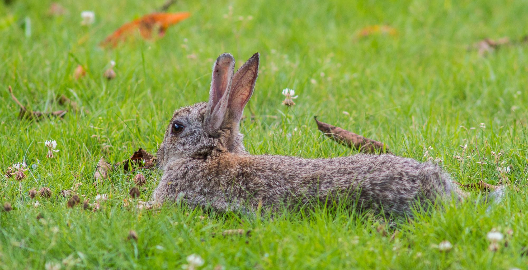 Kaninchen entspannt auf einer Wiese mit Klee liegend